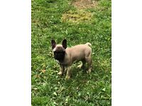 2 French bulldog puppies 11 weeks old KC ready to leave