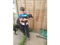 two lurcher brothers free to good home