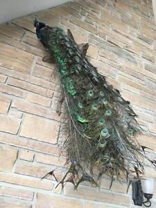 Indian Peacock Taxidermy Bird Mount
