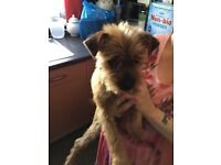 Pug x Yorkshire terrier