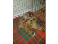 Shiranian puppies looking for forever loving home