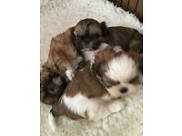 Shih Tzu puppies for sale KC reg