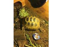Tortoise Lola