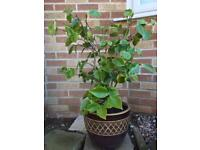 Pink camellia in large ceramic plant pot with plant food £10