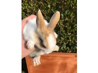 Baby rabbits for sale male and females from £20 to £40