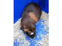 'Twix and Cocoa' two female guinea pigs. 6 months old
