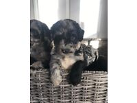 Beautiful Health tested Blue Merle Labradoodle puppies