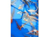 "Koi for sale 3""- 4"" various colours pond fish"