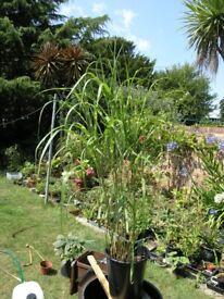 6 Garden Plants Incl Zebra Grass, Fig Tree, Ferns, Buddlia, Hebe etc All for £20 Weymouth