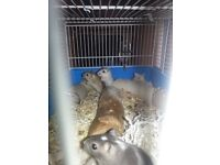 12 Gerbils ready to be Homed £5 each 2 for £9