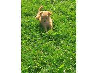 Pomeranian in London | Dogs & Puppies for Sale - Gumtree