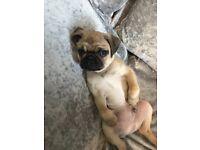 Pug puppy 13 weeks old