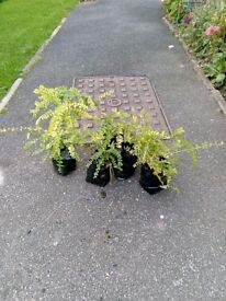 Healthy Young Lonicera Hedging Plants (Similar To Box) Ready to PLant Now.