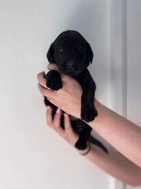 Black KC Registered Labrador Pups