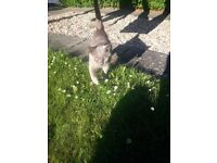 Missing grey cat in Kirk Brae area - Liberton