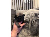 Adorable kc registered pug puppies