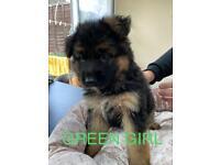 Stunning German Shepherd puppies only *2 girls left*