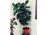 Rubber plant large