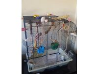 2 budgies , 10 months old , both male , & large premium cage & accessories.