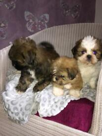 Imperial Shih Tzu puppies Ready now