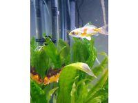 Koi Karp fish x2 for sale in Cardiff