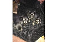 Pomchi puppies for sale ready now