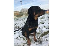 Beautiful rottweiler puppy in need of walks