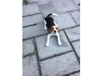 beagle 6 month old £400 ono (reserved)