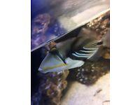 Marine picasso trigger fish
