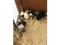 Stunning young Guinea pigs