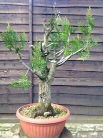 Thuja occidentalis white cedar Raw Bonsai Material