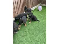 German Shepherd puppies gsd ready to go