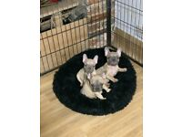 3 male french bulldog puppies READY NOW