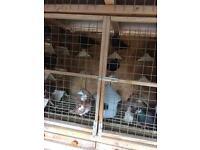 Birmingham rollers pigeons