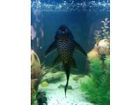Large plec pleco catfish 11.5 inches