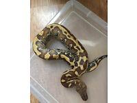Blood python for sale
