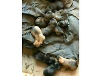 Rotwiler pressa puppies
