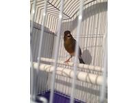 Singing male canary with new cage