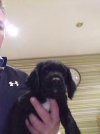 Spaniel pup for sale