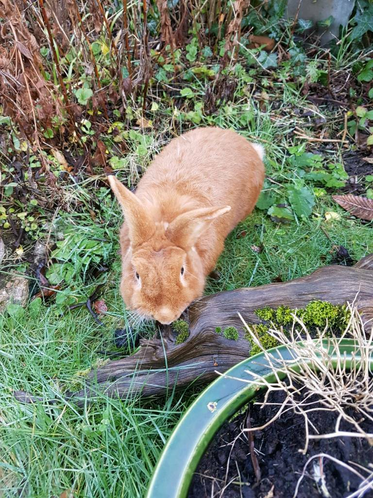 Ginger rabbit