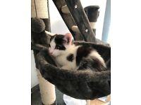 Gorgeous semi fluffy male kitten