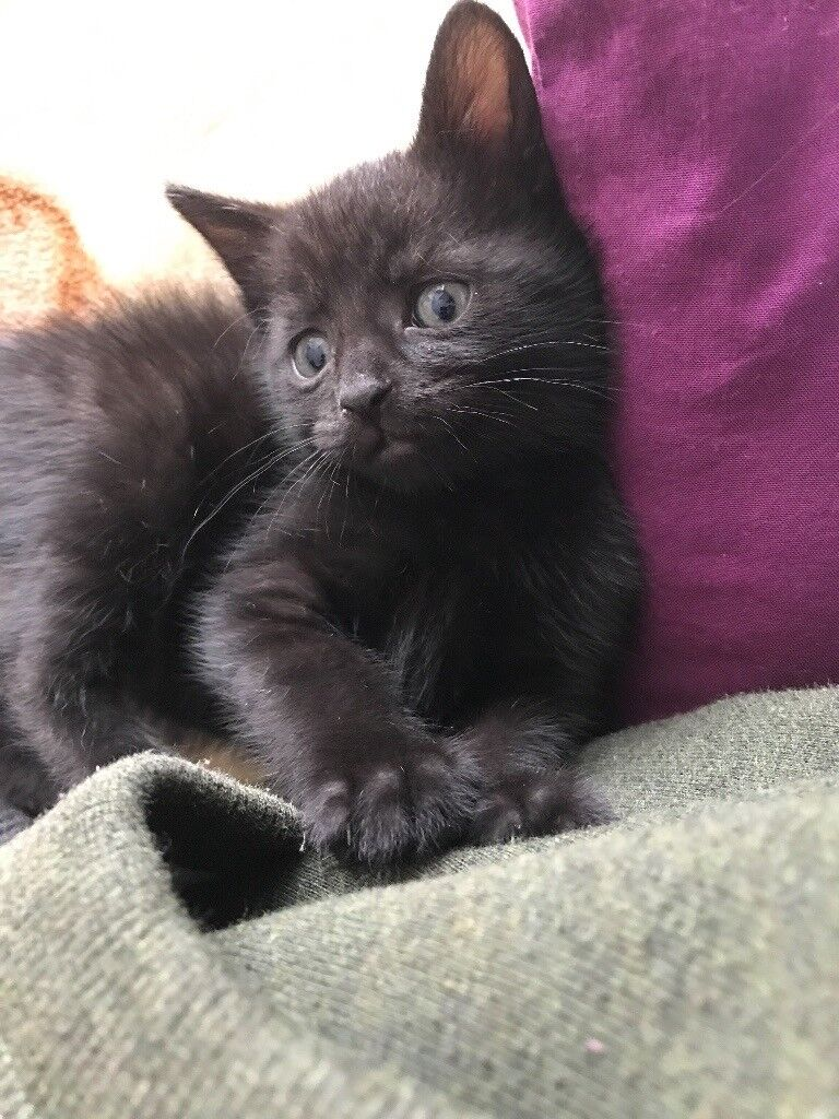 7 black female kittens for sale 8 weeks old