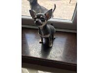 KC Reg Blue Smooth Coat Chihuahua Girl Pup