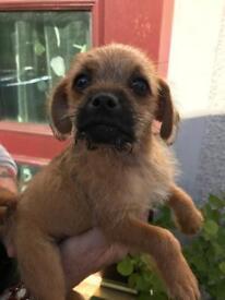 Poodle/pug for sale