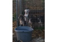 Lurcher puppies -saluki greyhound