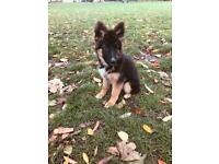 German Shepard puppy for sale - girl