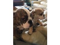 BRITISH BULLDOG PUPPIES FOR SALE ,PET HOMES ONLY !!!