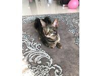 Amazing tabby kitten for re-home