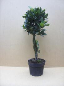 Bay Tree (Laurus nobilis) Plaited