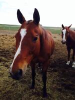 Bay Thoroughbred Mare